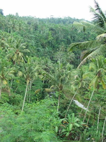 Džungla na Baliju - malo fikusa, malo palmi i puno paprati i mahovine