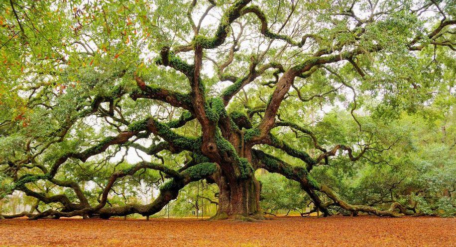 les_plus_beaux_arbres_du_monde_caroline_du_sud_oak_angel